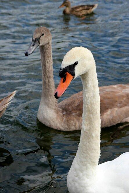 На озере обитает множество лебедей