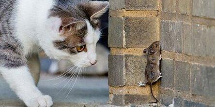 Кошка охотится на мышь