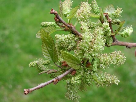 White Mulberry Tree: Grow & Care for Mulberry Trees 2